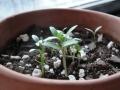 JADS-baby-cilantro-jdm